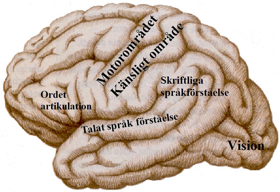 Hjärnans elokventa områden